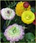 Filled Ranunculus